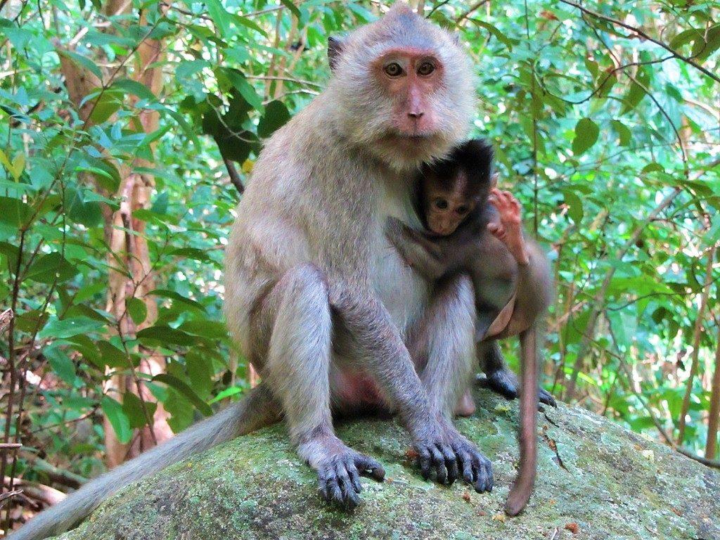 Macaques, Con Son Island, Con Dao, Vietnam