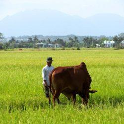 Rice field, southern Vietnam