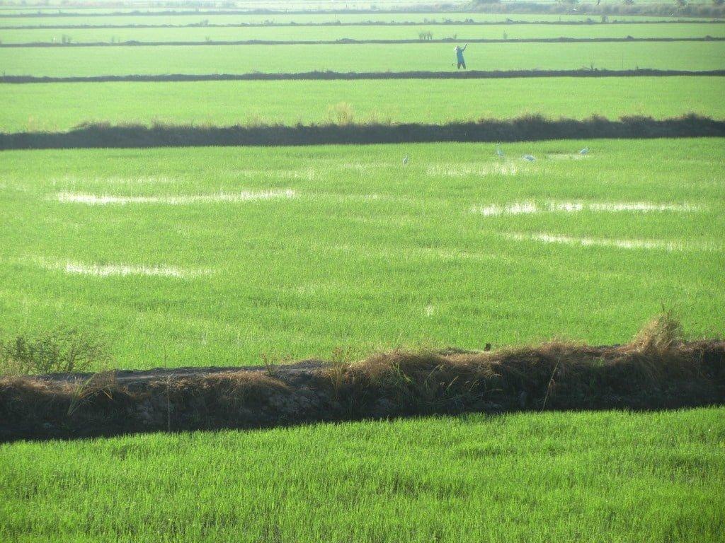 Rice fields, Mekong Delta, Vietnam