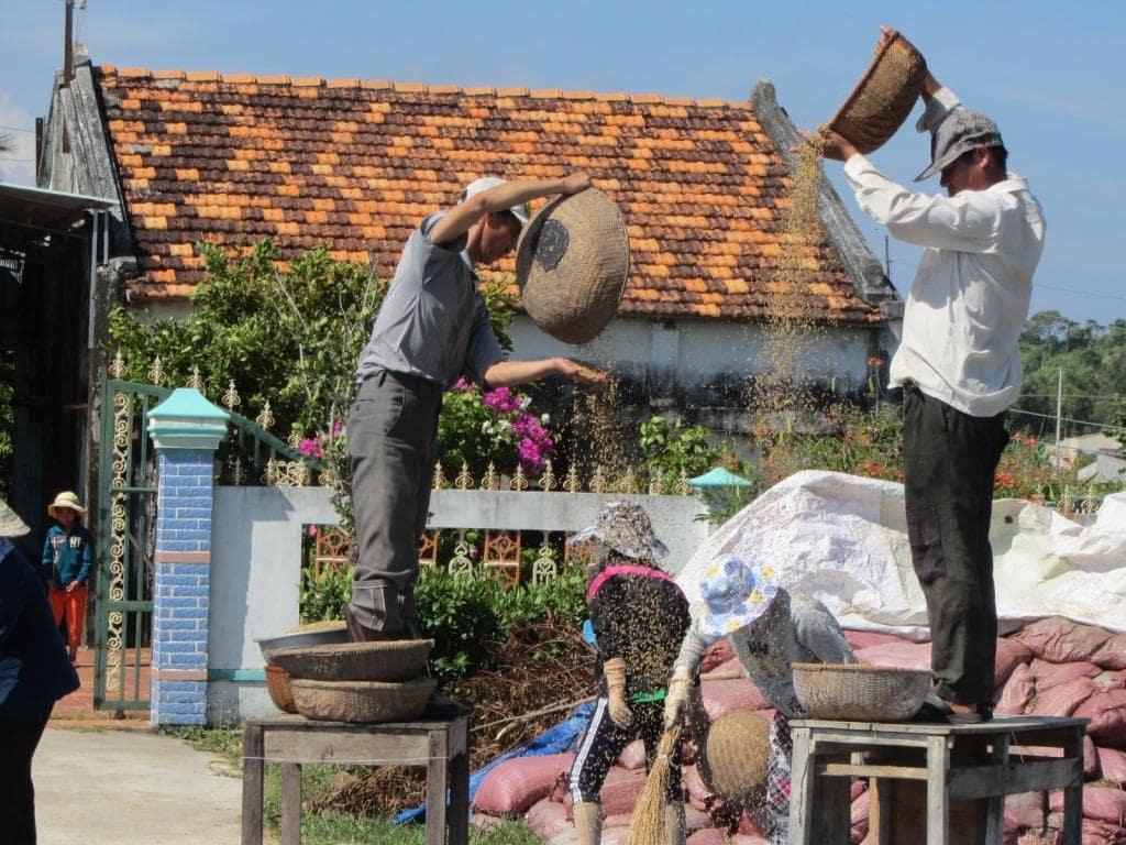 Harvesting rice near Phan Thiet