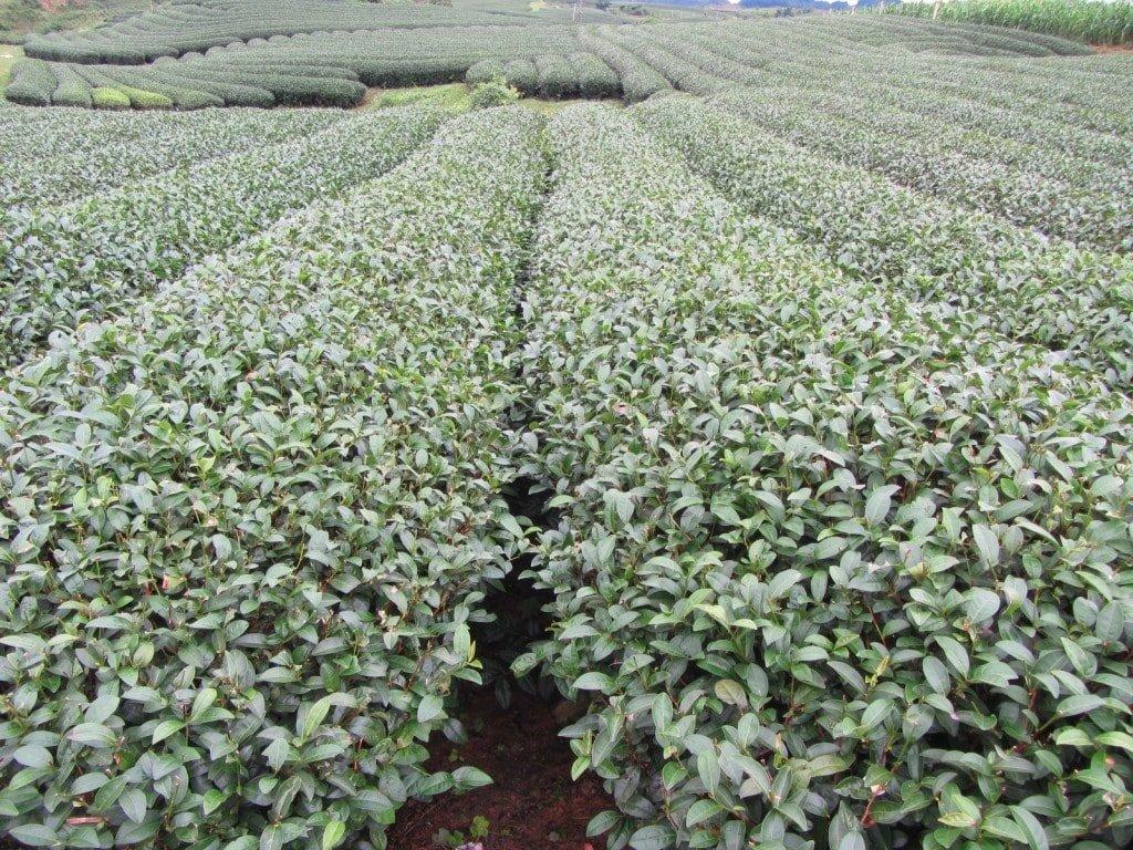 Tea plantations, Moc Chau
