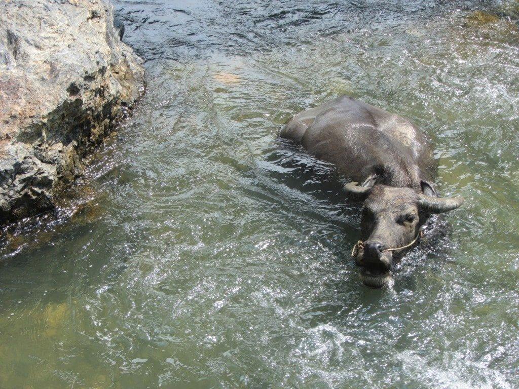 Buffalo in the stream