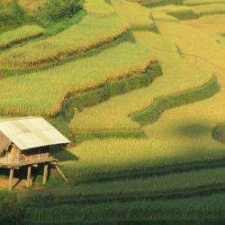 Rice harvest, Mu Cang Chai, Vietnam