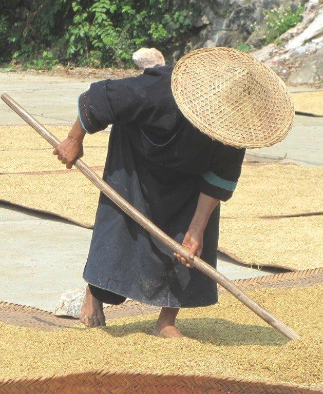 Rice harvest, Cao Bang