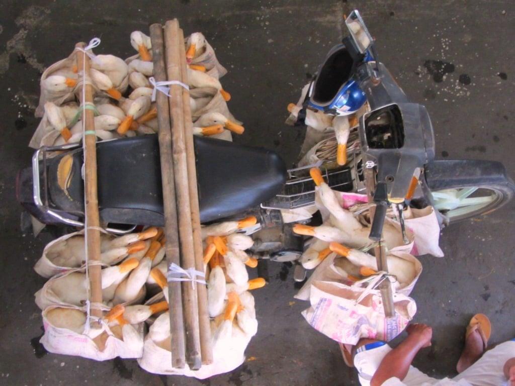 Ducks for market, Mekong Delta