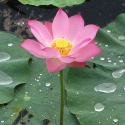 Lotus flower, Vietnam