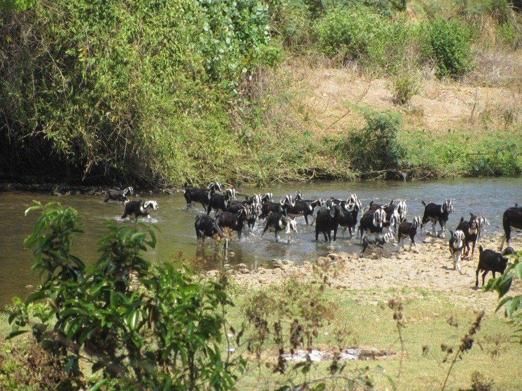 Herd of goats accompanying Ms Ca, Vietnam