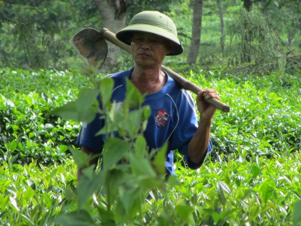 A tea farmer in Nghe An Province, Vietnam