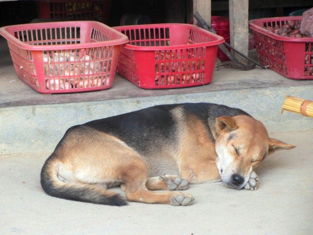 Sleeping dog in northern Vietnam