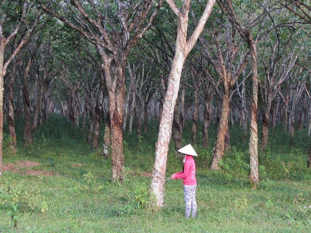 Rubber plantations, Dong Nai Province, Vietnam