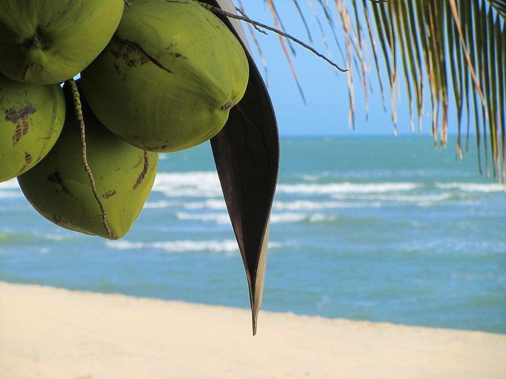 Coconuts on at Dat Lanh Resort beach, Vietnam
