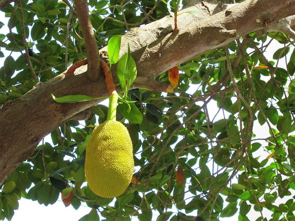 Jackfruit tree, Vietnam