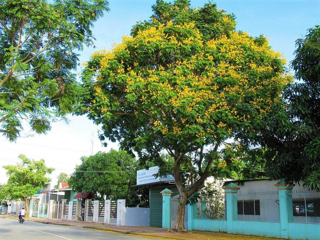 Copperpod tree, Vietnam