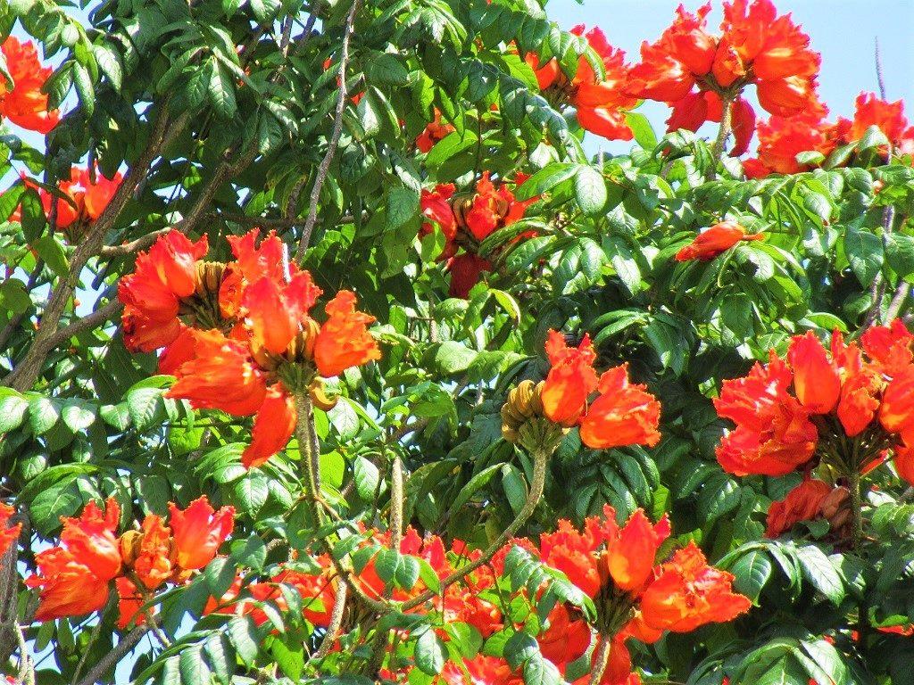 African Tulip tree, Vietnam