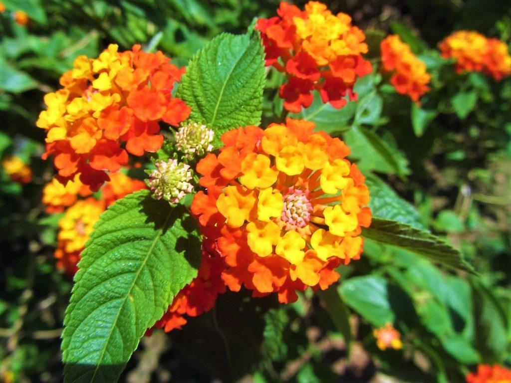 Lantana flower, Vietnam