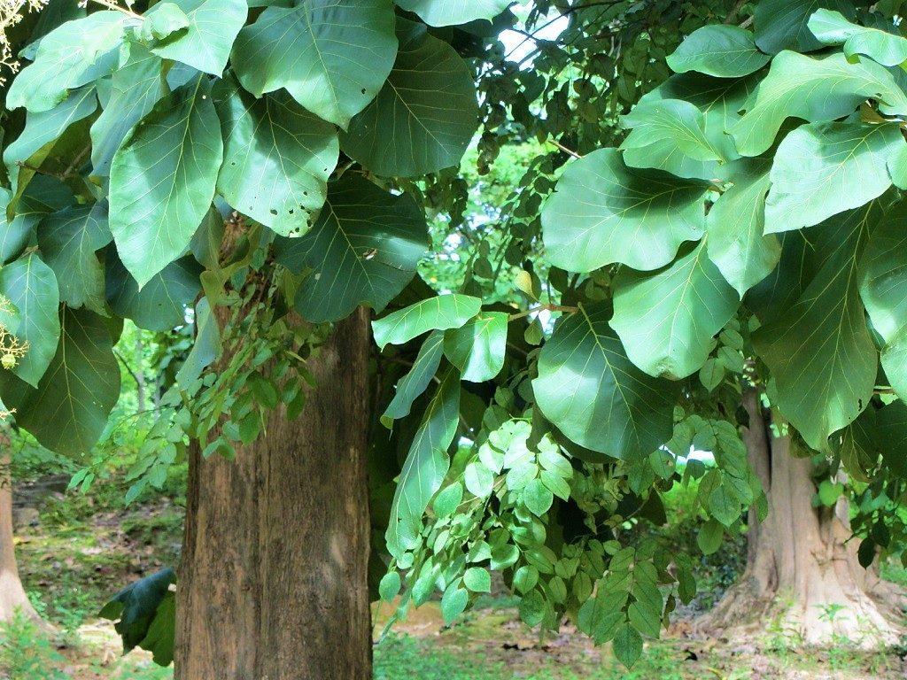 Teak tree, Vietnam