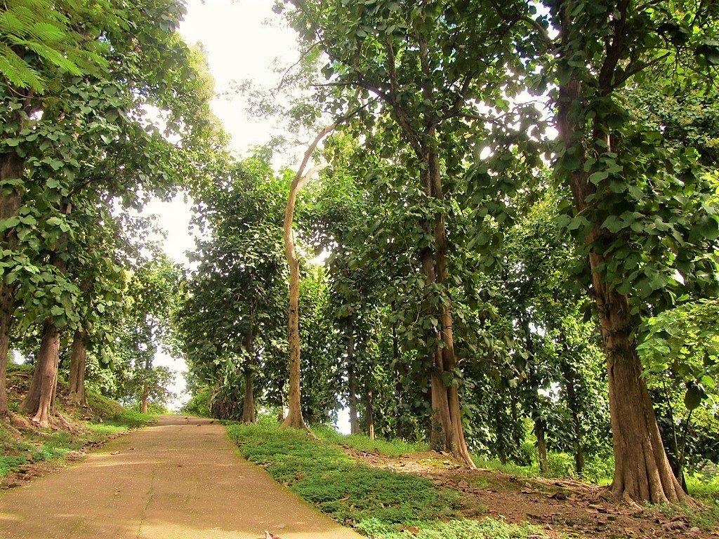 Teak trees, Vietnam