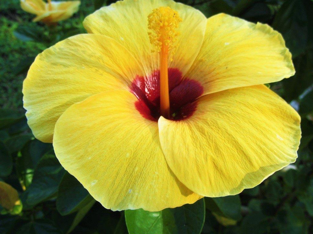 Hibiscus flower, Vietnam