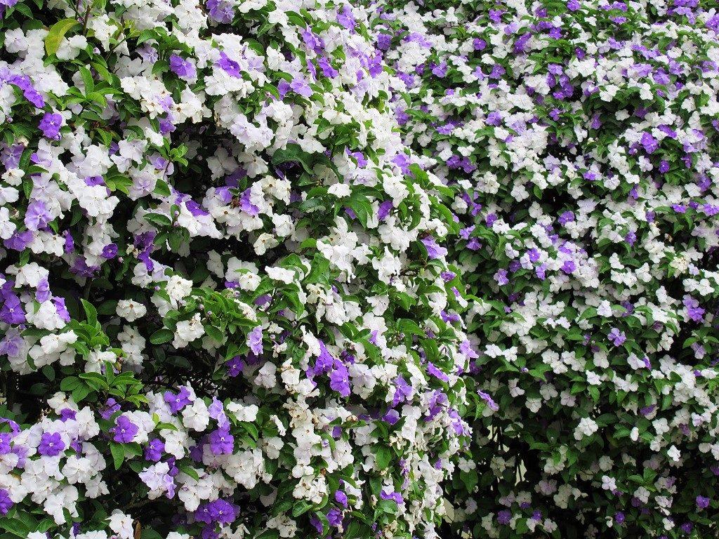 Sweet Pea flower, Vietnam