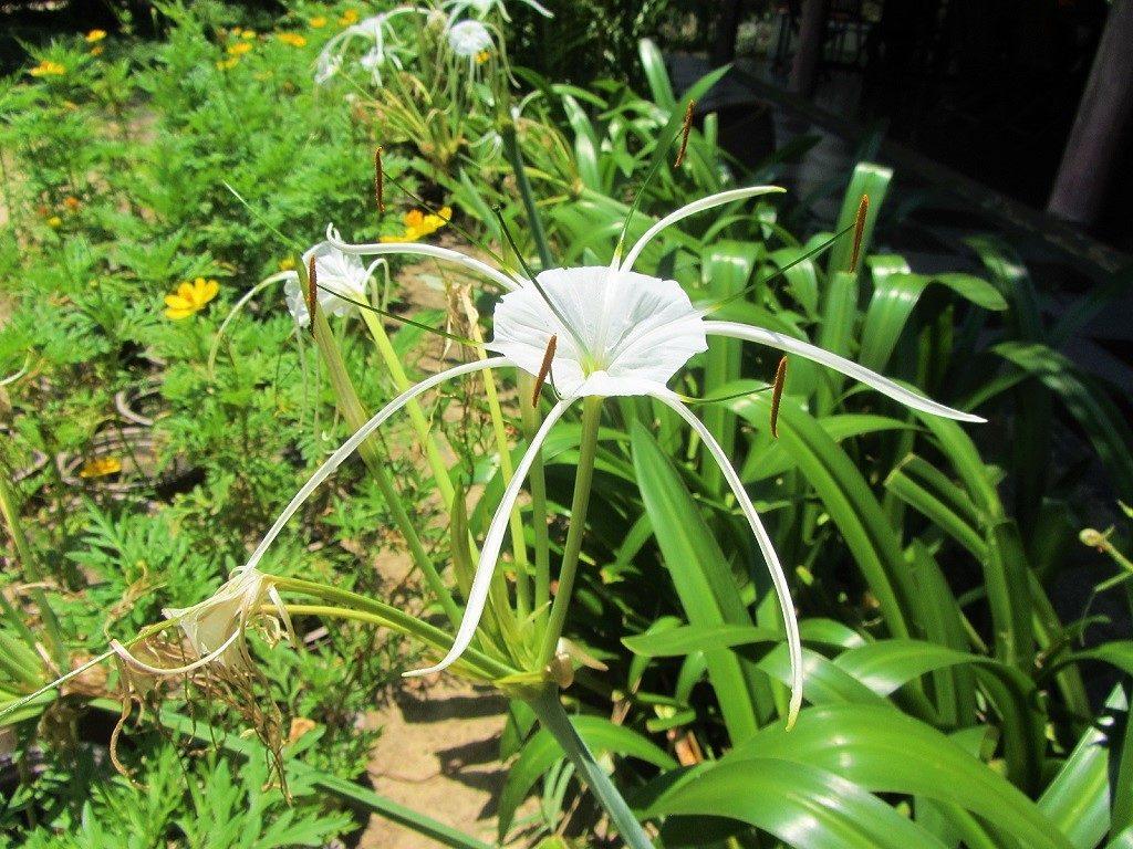 Spider Lily, Vietnam