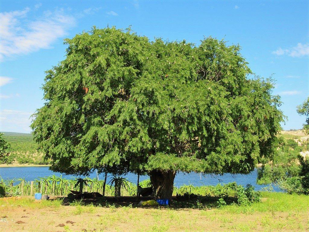 Tamarind tree, Vietnam