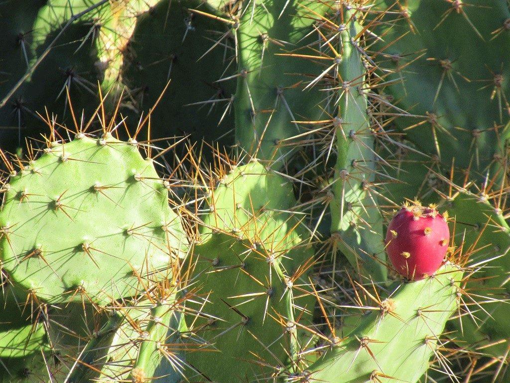 Prickly Pear Cactus, Vietnam