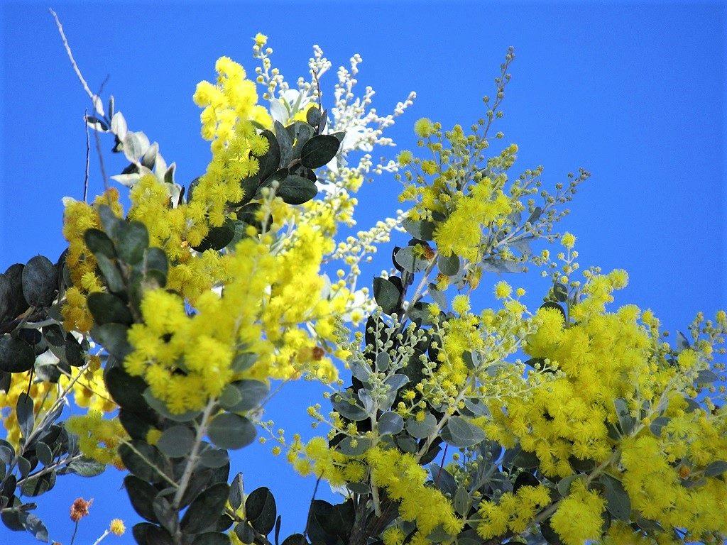 Yellow Mimosa (Acacia) flower, Vietnam