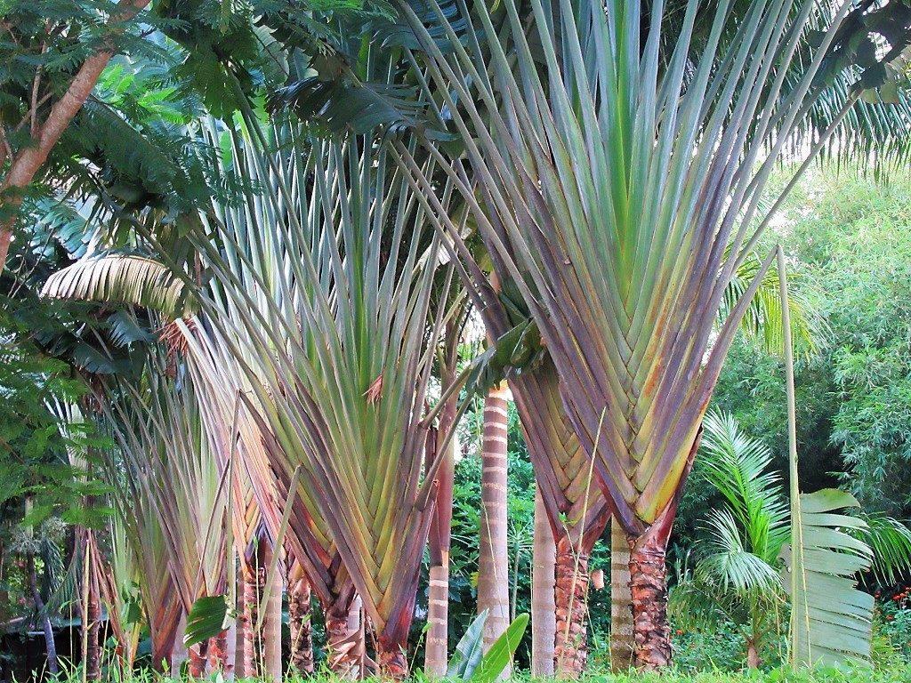 Traveller's Palm, Vietnam
