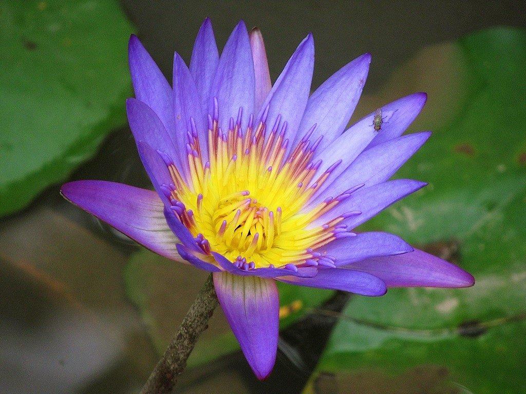 Purple water lily, Vietnam