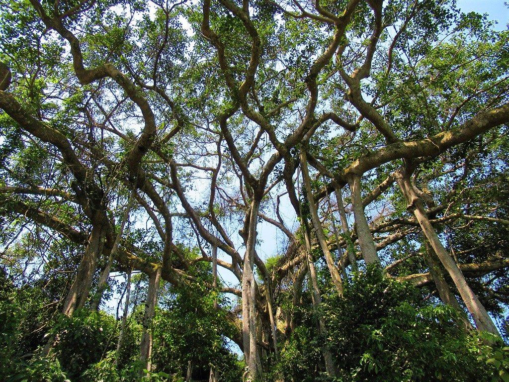 Banyan Tree, Strangler Fig, Vietnam