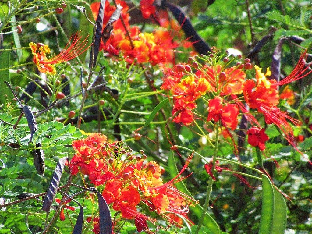 Peacock Flower, Vietnam