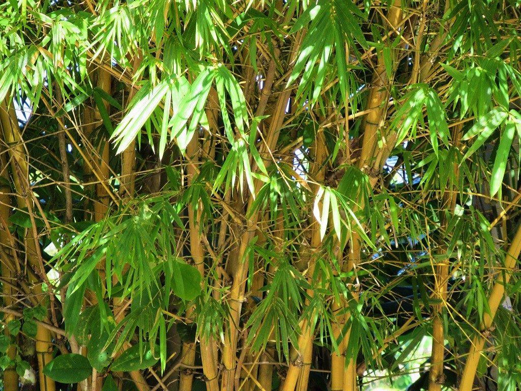 Bamboo in Vietnam