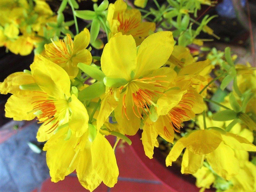 Yellow Mai Flower, Tet Lunar New Year flower, Vietnam