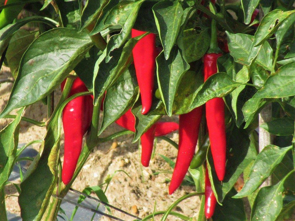 Chilli Pepper bush, Vietnam