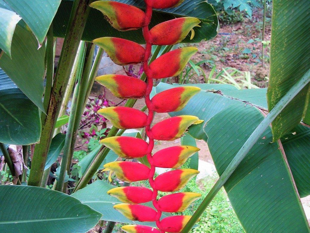 Heliconia flower, Vietnam