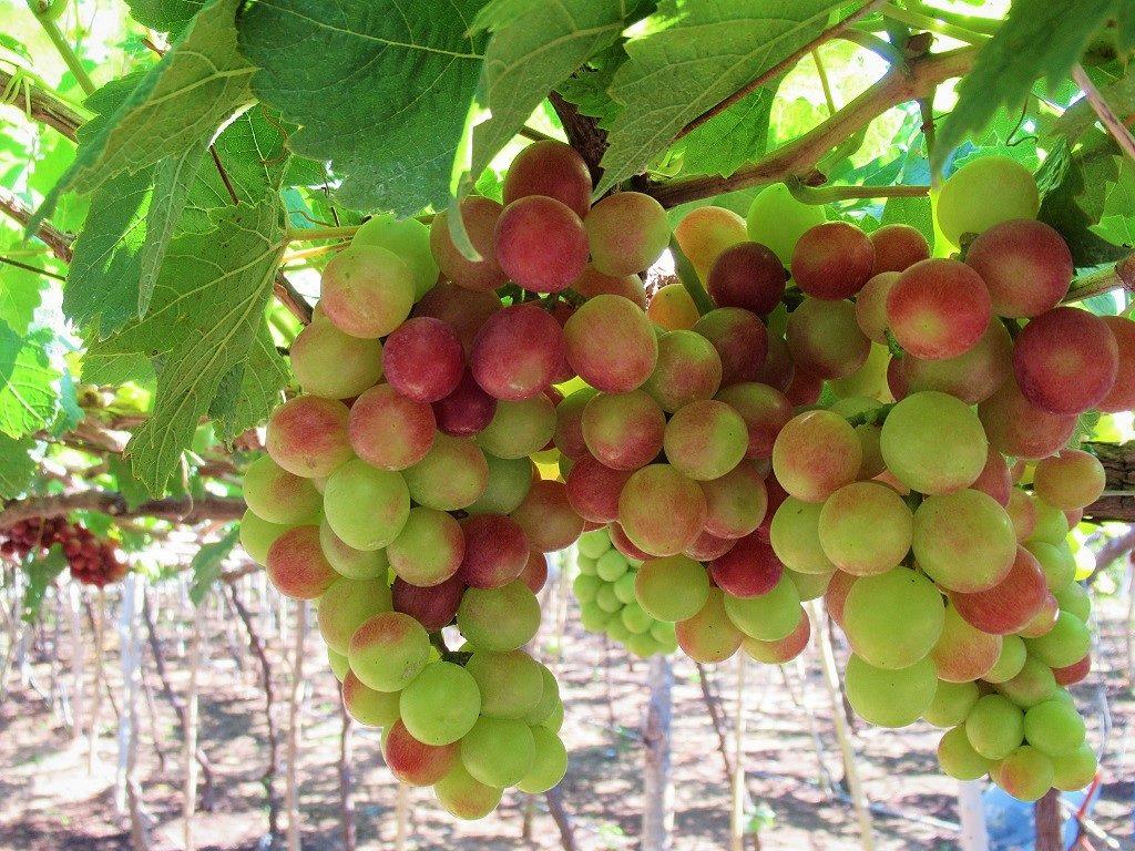 Grapes, Ninh Thuan Province, Vietnam