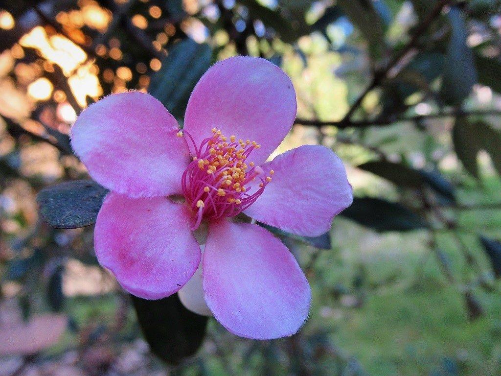Rose Myrtle Flower, Vietnam