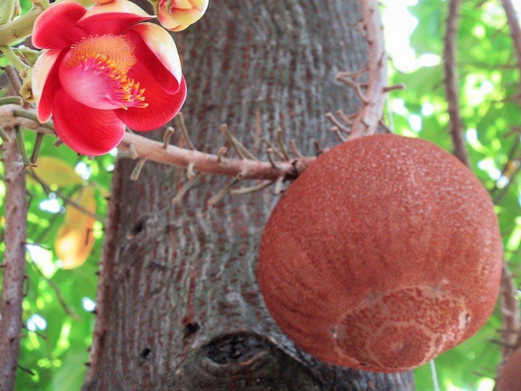 Cannonball Tree, Vietnam