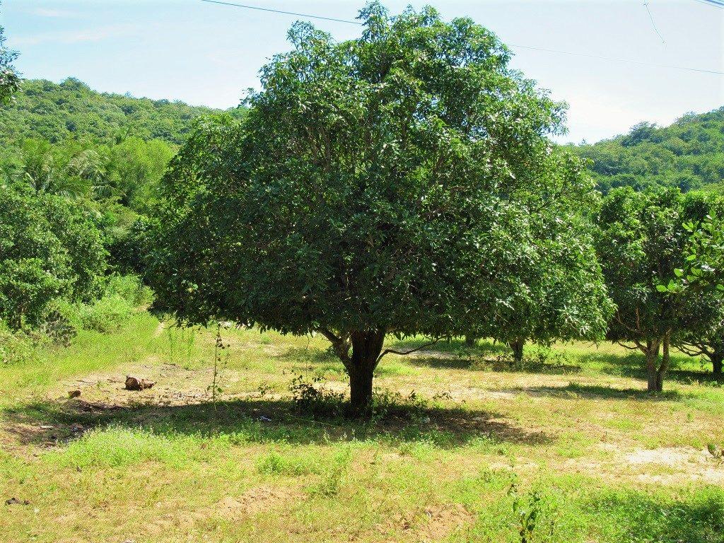 Mango Tree, Vietnam