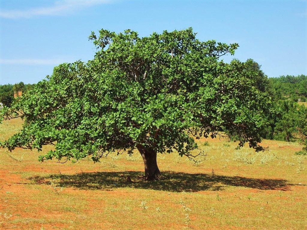 Cashew Tree, Vietnam