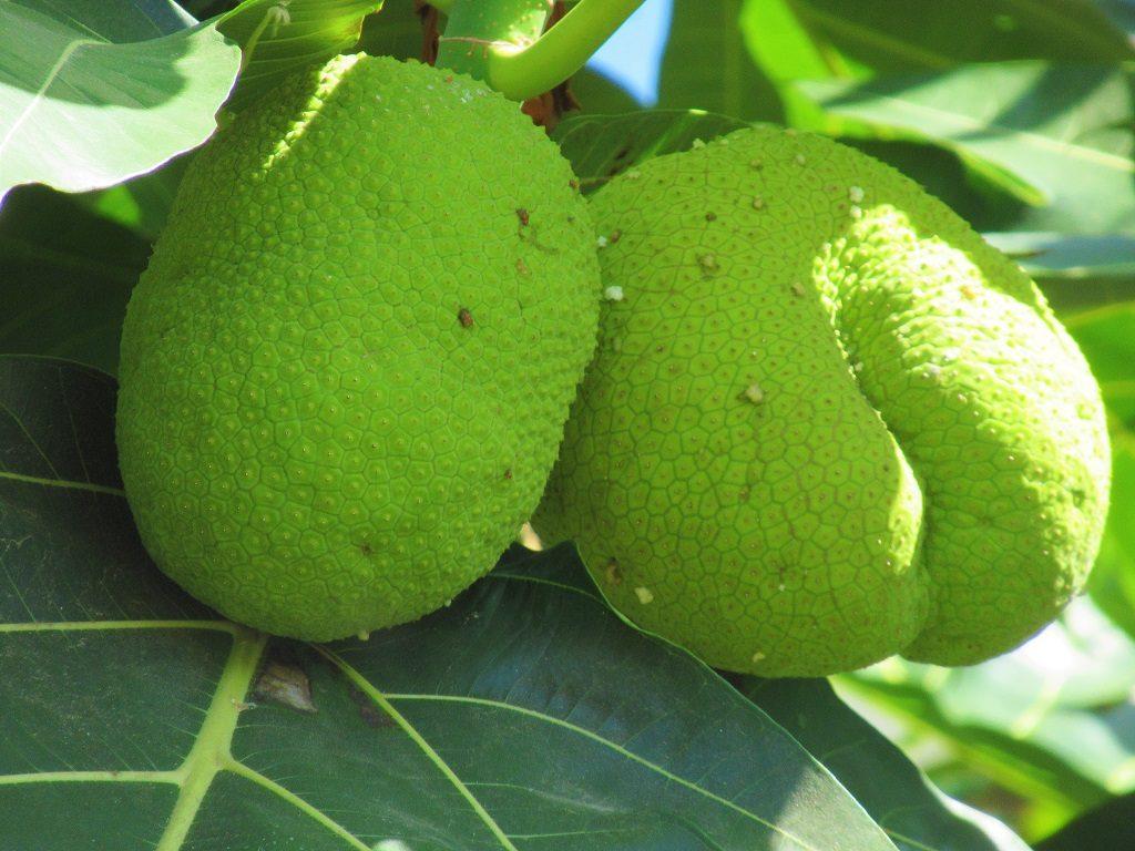 Breadfruit tree, Vietnam